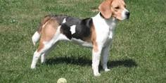 Relacionada 1200px beagle faraon
