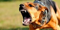 Relacionada que hago si me ataca un perro agresivo