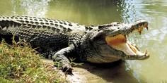 Relacionada cocodrilo