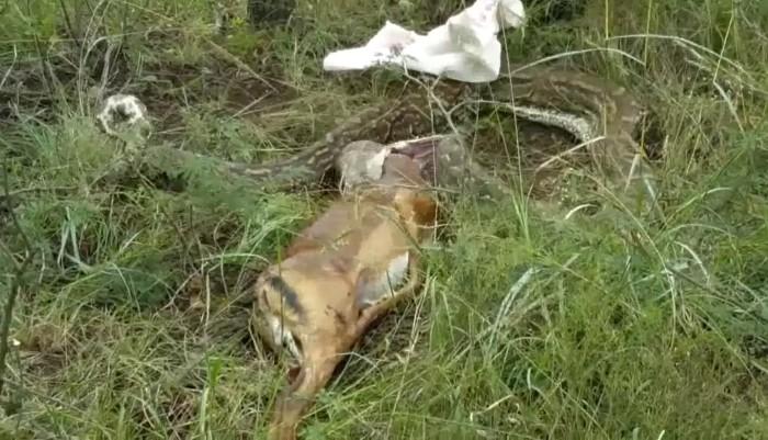 Pit n gigante vomita antlope
