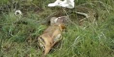Relacionada pit n gigante vomita antlope