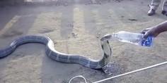 Relacionada cobra bebe agua