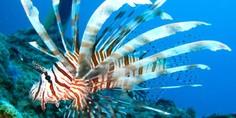 Relacionada lion fish
