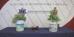 Relacionada polici as municipales aseguran 17 plantas de marihuana y detienen a dos presuntos narcomenudistas