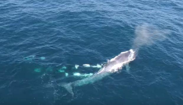 YouTube: dron capta ataque coordinado de orcas hacia una ballena azul