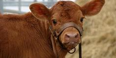 Relacionada vaca marron abc kqib  620x349 abc
