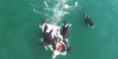 Relacionada orcas