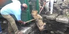 Relacionada leona