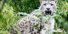 Relacionada leopardo de las nieves