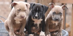 Relacionada pitbul puppies