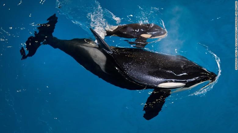 Murió la más joven orca nacida en Seaworld