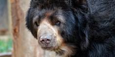 Relacionada chucho oso