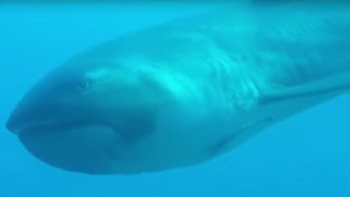 Una turista filma a uno de los tiburones más raros del mundo