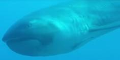 Relacionada tiburon boca ancha