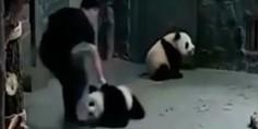 Relacionada pandas beb s