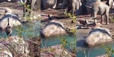 Relacionada 1ganso contra elefante