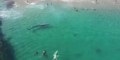 Relacionada ballena gris