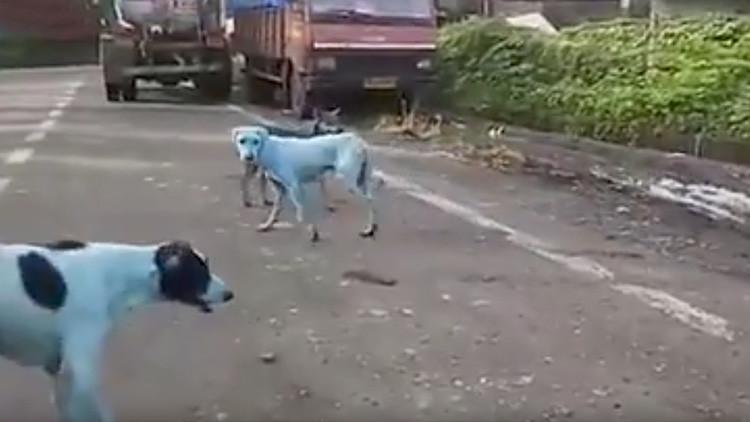 Perros callejeros de la India se vuelven azules