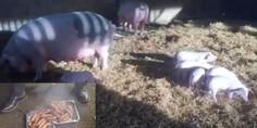 Relacionada cerdos3