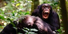 Relacionada simios para nota