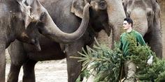 Relacionada elefantes comen arboles navidad en berlin