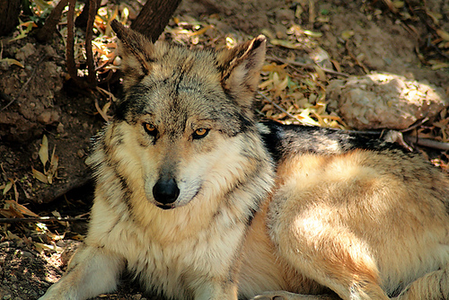1309080400 mexicanwolf3