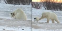 Relacionada oso polar perro
