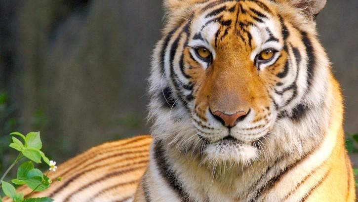 Tigre escapó de circo y deambuló por calles de París — YouTube