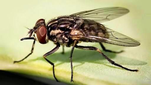Alas y patas de las moscas transportan microorganismos peligrosos para la salud