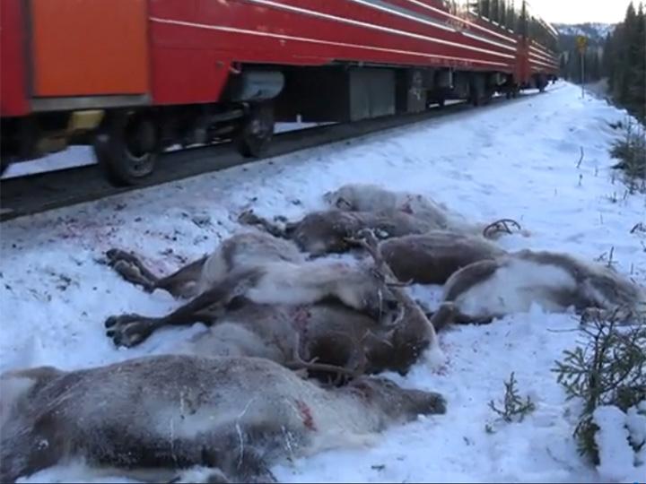 ¡Santa se queda sin transporte! Trenes matan a 106 renos