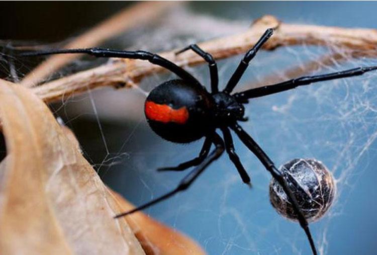 Lluvia llevó arañas mortíferas a una casa en Australia