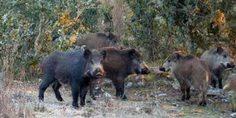 Relacionada cerdo feral