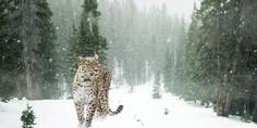 Relacionada leopardo