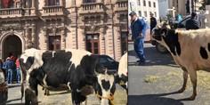 Relacionada vaca