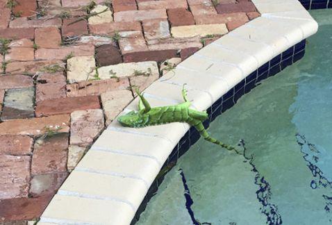 Ciclón bomba: Iguanas se congelan en Florida