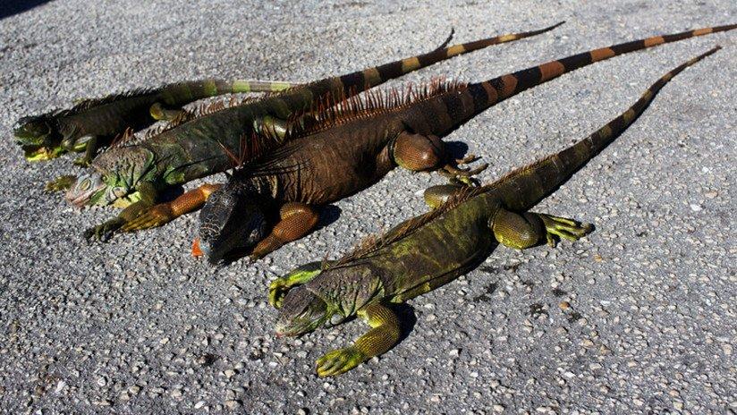Iguanas congeladas de Florida comienzan descongelarse...ya atacar