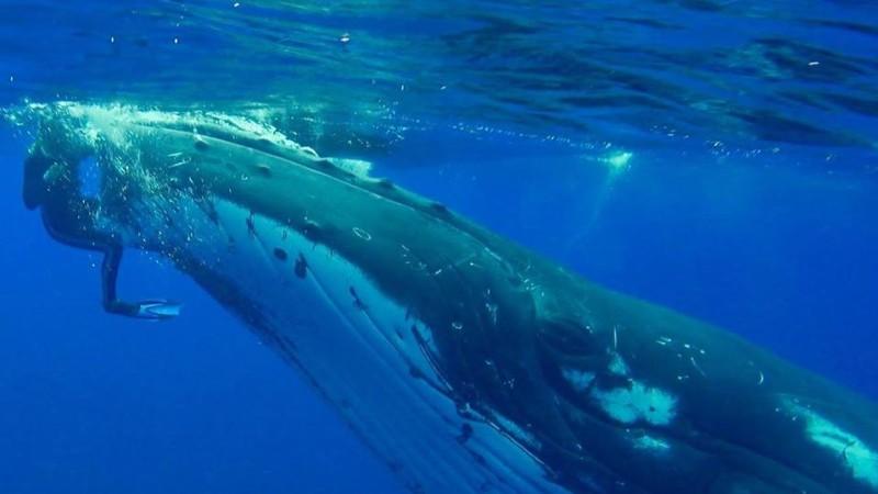 Ballena salva a una buzo de amenaza de un tiburón — Vídeo