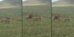Relacionada 2perrito ataca leones video