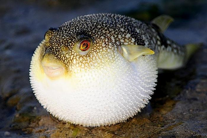 Venden por error porciones mortales de pez fugu — Alerta en Japón