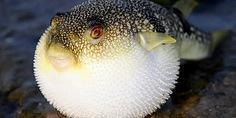 Relacionada el pez fugu la delicia gourmet mas peligrosa2