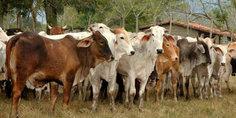 Relacionada ganado