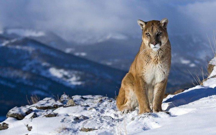 El puma oriental norteamericano es declarado oficialmente extinto