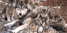 Relacionada como nacen los lobos