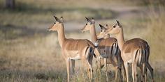 Relacionada impala 4