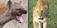 Relacionada 2hiena trampa leonas