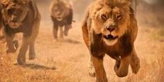 Relacionada lions