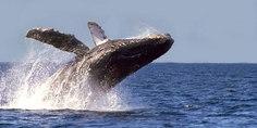 Relacionada ballena gris bcs