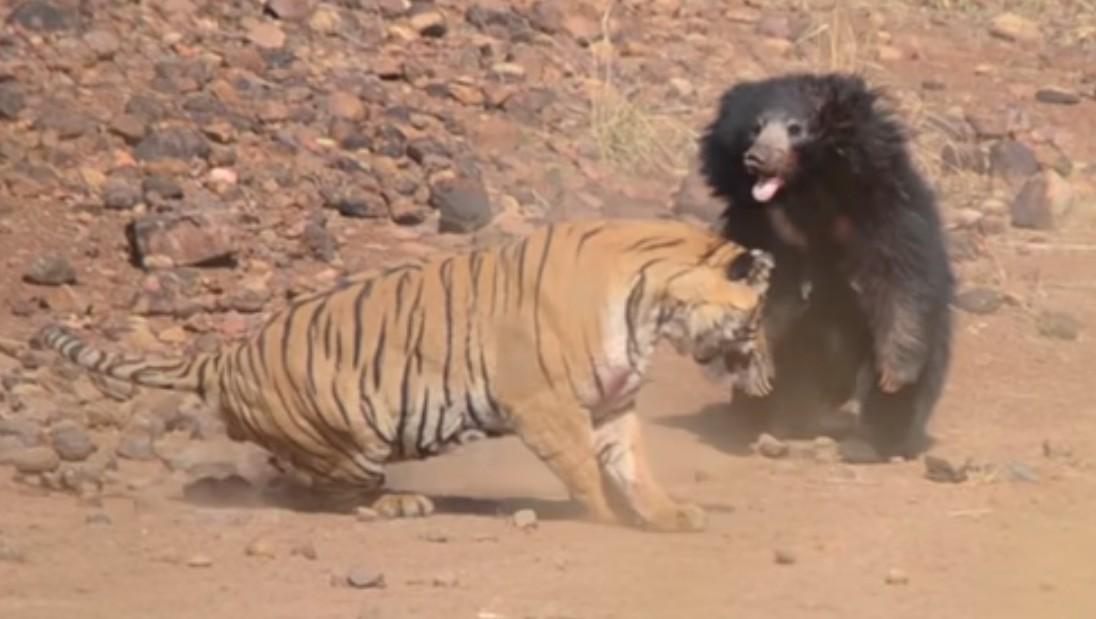 Oso y Tigre pelean brutalmente por la supervivencia