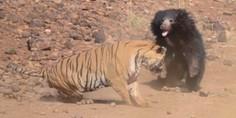 Relacionada oso vs tigre