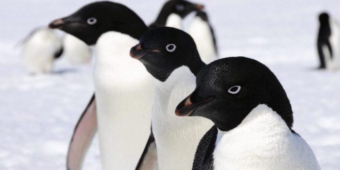 Pinguonso adelaida